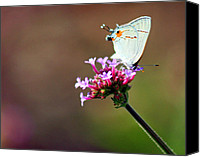 Karen Adams Canvas Prints - Grey Hairstreak Butterfly on Vibernum Canvas Print by Karen Adams