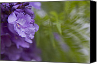 Sharon Mau Canvas Prints - Jacaranda mimosifolia Makawao Maui Hawaii Canvas Print by Sharon Mau