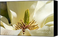 Close Up Special Promotions - Magnolia Canvas Print by Steven Ralser