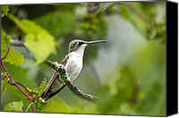 Male Hummingbird Canvas Prints - Ruby-Throated Hummingbird Canvas Print by Christina Rollo