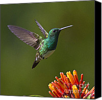 Koehrer-wagner_heiko Canvas Prints - Snowy-bellied Hummingbird Canvas Print by Heiko Koehrer-Wagner