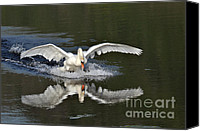 Wing Mirror Canvas Prints - Swan landing Canvas Print by Simona Ghidini