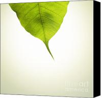 Buddhist Canvas Prints - Pho Or Bodhi Canvas Print by Atiketta Sangasaeng