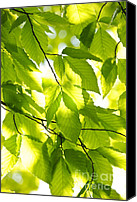 Growth Photo Canvas Prints - Green spring leaves Canvas Print by Elena Elisseeva