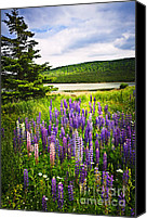 Lush Canvas Prints - Lupin flowers in Newfoundland Canvas Print by Elena Elisseeva