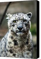 Snow Leopard Photos Canvas Prints - Snow Leopard Canvas Print by Matt Steffen