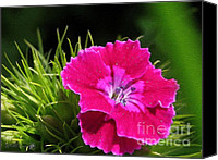 Duplex Canvas Prints - Sweet William from the Super Duplex Bluepoint Mix Canvas Print by J McCombie