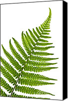 Growth Photo Canvas Prints - Fern leaf Canvas Print by Elena Elisseeva