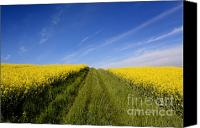 Rape Canvas Prints - Agricultural landscape. Auvergne. France. Canvas Print by Bernard Jaubert