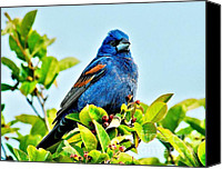 Colorful Feathers Photo Canvas Prints - A Blue Grosbeak Canvas Print by Nick Zelinsky