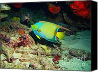 Angel Fish Canvas Prints - Angel Fish Canvas Print by Jimmy Nelson