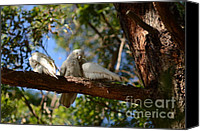 Parrot Canvas Prints - Australian Parrots - Three Corellas Cuddling And Grooming Canvas Print by Tomislav Vucic