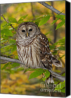 Bittersweet Canvas Prints - Autumn Barred Owl Canvas Print by Joshua Clark