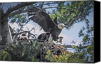 Bald Canvas Prints - Bald Eagle with Eaglets and fish Canvas Print by Everet Regal