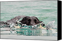 Diving Dog Canvas Prints - Black Labrador Retriever Swimming Canvas Print by Linda Rusinko