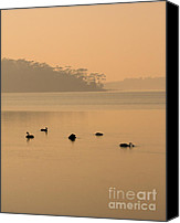 Swan Canvas Prints - Black Swan Sunrise Canvas Print by Mike  Dawson