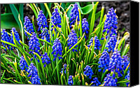 Steve Harrington Canvas Prints - Blue Grape Hyacinth 2 Canvas Print by Steve Harrington