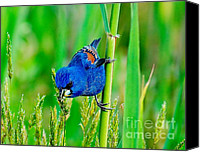 Colorful Feathers Photo Canvas Prints - Blue Grosbeak on a reed Canvas Print by Nick Zelinsky
