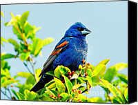 Colorful Feathers Photo Canvas Prints - Blue Grosbeak on the Look Out Canvas Print by Nick Zelinsky
