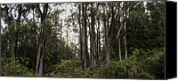 Brad Scott Canvas Prints - Blue Gum Eucalyptus Forest Canvas Print by Brad Scott