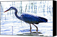 Nick Gustafson Canvas Prints - Blue Heron Walking in Water Canvas Print by Nick Gustafson