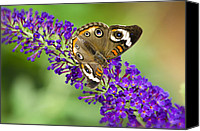 Bold Colors Canvas Prints - Buckeye Butterfly on Purple Flowers Canvas Print by Saija  Lehtonen