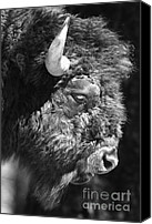 Bison Canvas Prints - Buffalo Portrait Canvas Print by Robert Frederick