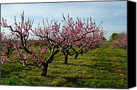 Craggy Canvas Prints - Cherry Trees Canvas Print by Michelle Calkins