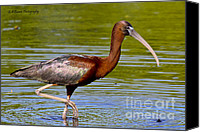 Barbara Bowen Canvas Prints - Colorful Glossy Ibis Canvas Print by Barbara Bowen