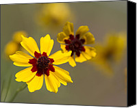 North America Special Promotions - Coreopsis tinctoria - Golden Coreopsis Tickseed Canvas Print by Kathy Clark