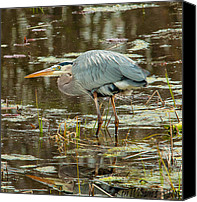 Ken Williams Canvas Prints - Crouching Blue Heron Canvas Print by Ken Williams