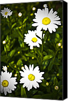 Grass Special Promotions - Daisies Canvas Print by Jessica Berlin