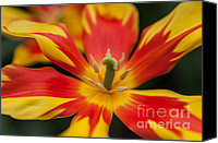 Jenny Rainbow Canvas Prints - Dappled Tulip 1. The Tulips of Holland Canvas Print by Jenny Rainbow