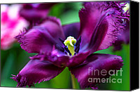 Jenny Rainbow Canvas Prints - Dark Purple Parrot Tulip. The Tulips of Holland Canvas Print by Jenny Rainbow