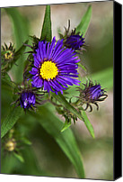 Purple Flowers Digital Art Canvas Prints - Deep Purple Aster Canvas Print by Christina Rollo