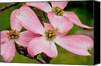 Dogs Special Promotions - Dogwood Flowers Canvas Print by Cyril Furlan