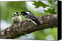 Downy Canvas Prints - Downy Woodpecker Canvas Print by Christina Rollo