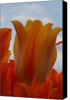Brian Jones Canvas Prints - El Nino Tulips Canvas Print by Brian Jones