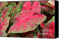 Caladium Photo Canvas Prints - En Rouge Canvas Print by Robyn Louisell
