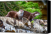Otter Photo Canvas Prints - European Otters Canvas Print by Chris Thaxter