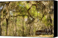 Rape Canvas Prints - Fabulous Spanish Moss Canvas Print by Christine Till