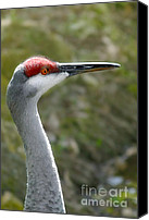 Crane Canvas Prints - Florida Sandhill Crane Canvas Print by Christine Till