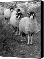 Sheep Special Promotions - Follow the Leader Canvas Print by Paul Ducksbury