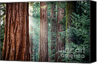 Sierra Canvas Prints - Giant Sequoias in early morning light Canvas Print by Jane Rix