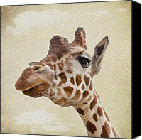 Camel Digital Art Canvas Prints - Giraffe close up Canvas Print by Svetlana Sewell