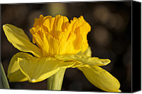 Photo Photo Special Promotions - Golden Daffodil Canvas Print by Penny Meyers