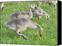 Jim Vansant Canvas Prints - Goslings Feeding Canvas Print by Jim Vansant