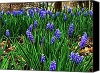 Julie Dant Photographs Canvas Prints - Grape Hyacinths II Canvas Print by Julie Dant