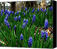 Julie Dant Photo Canvas Prints - Grape Hyacinths Canvas Print by Julie Dant
