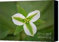 Forest Floor Canvas Prints - Green and White Trillium Canvas Print by Todd Bielby